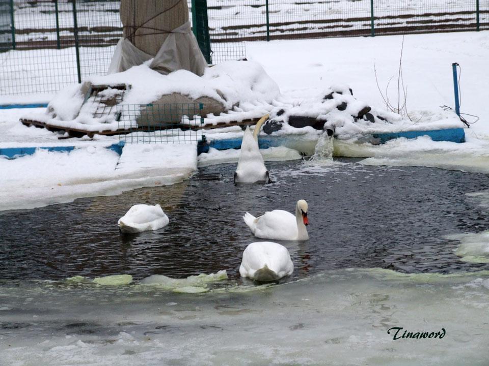 лебеди-3.jpg