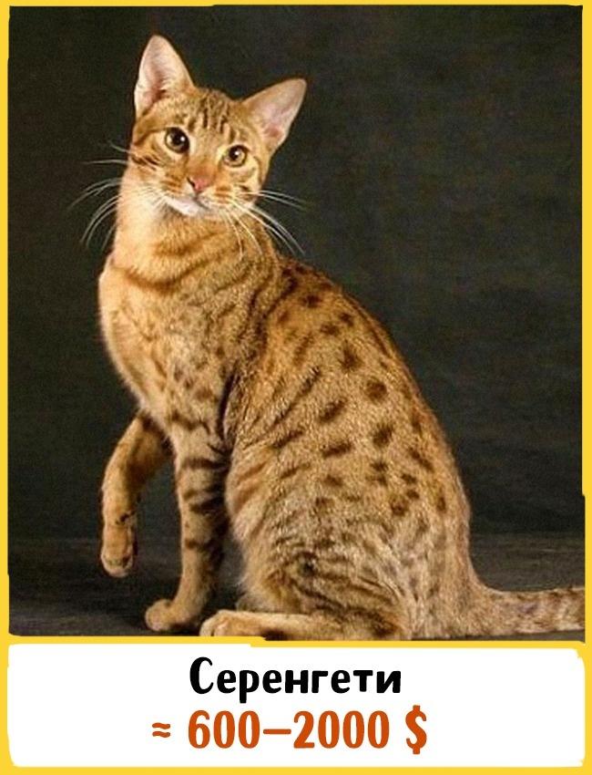 © cats-dom.ru  Эта порода была выведена в1994 году вКалифорнии. Она относится ккрупным кошк