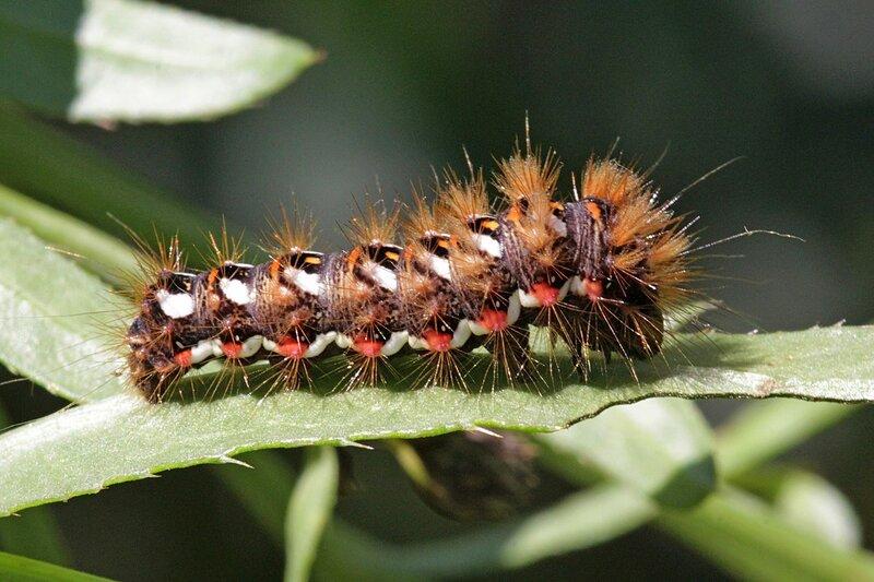 Черная мохнатая гусеница с белой полосой и красными пятнами - гусеница щавелевой совки (стрельчатки, Acronicta rumicis)