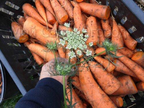 Морковь требует подобного хранения, что и картофель.