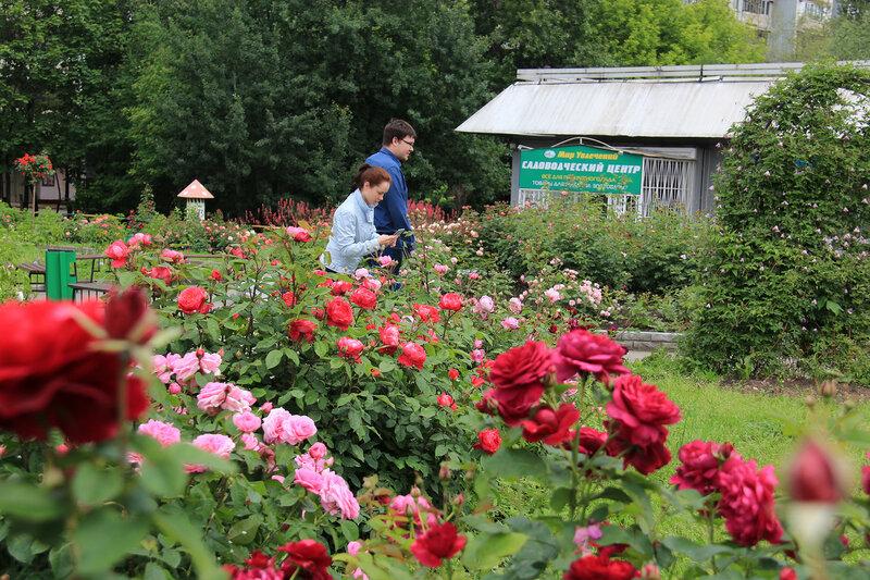 Приглашаем на цветение! Розы David Austin в нашем цветнике на Широкой, 27