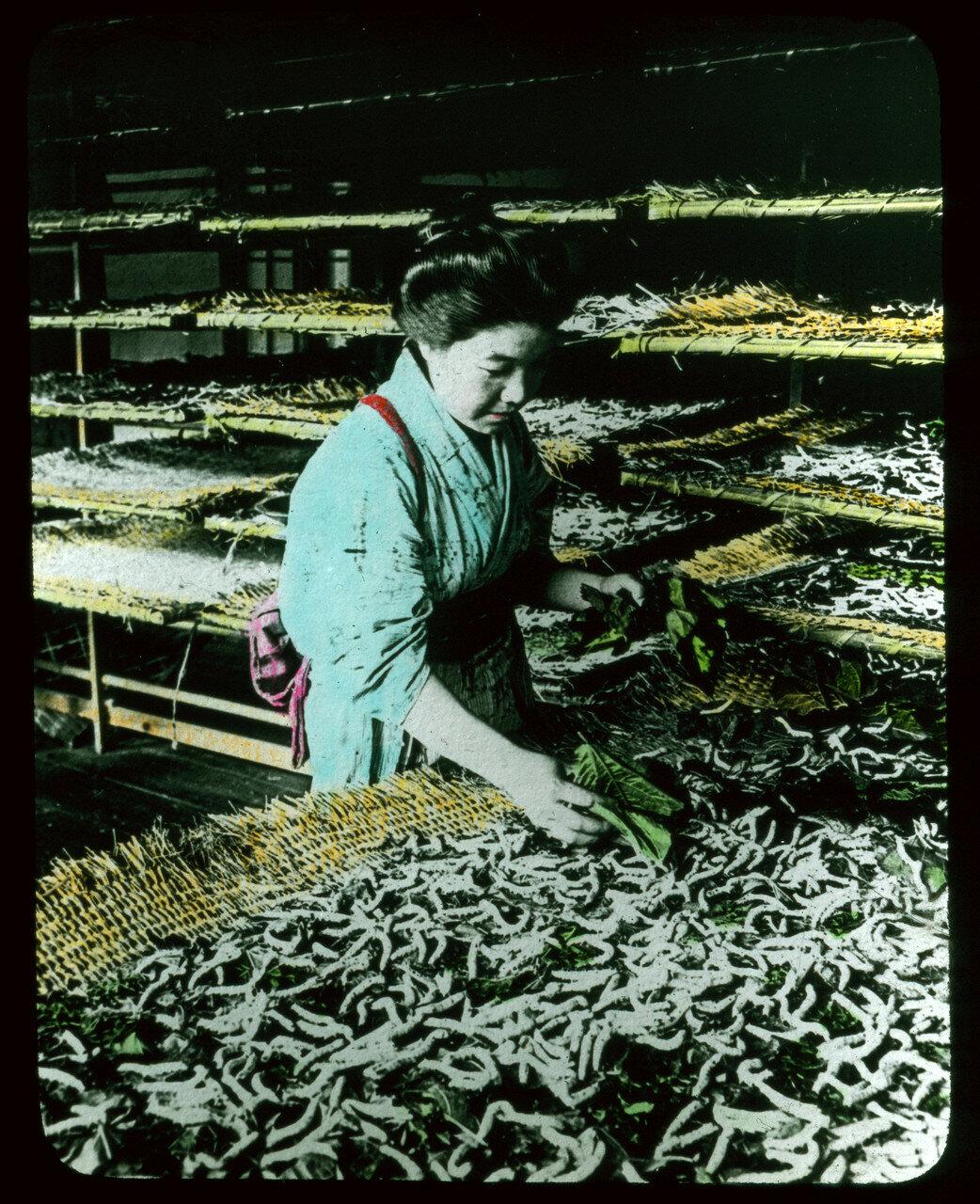 Сбор коконов шелковичных червей
