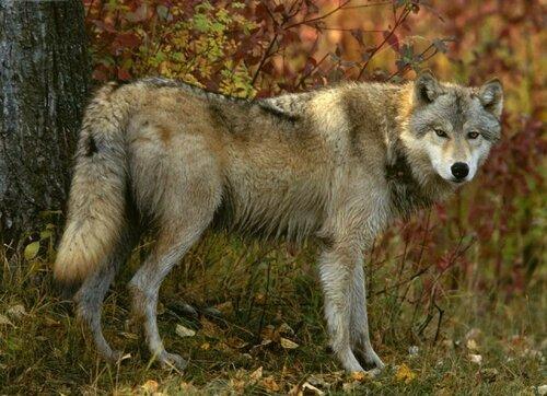 в Добрудже стая волков напала на стадо домашних животных.
