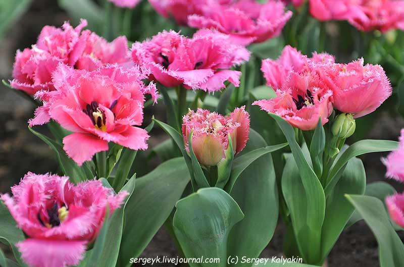 Tulipa Matchpoint (9).JPG