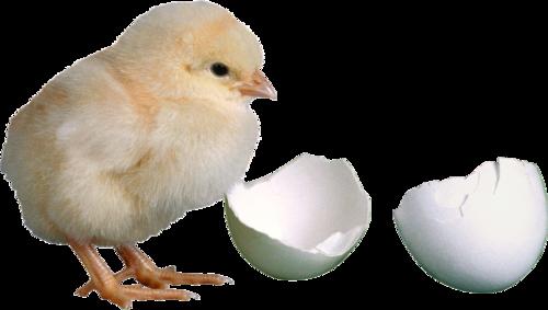 цыпленок и скорлупа