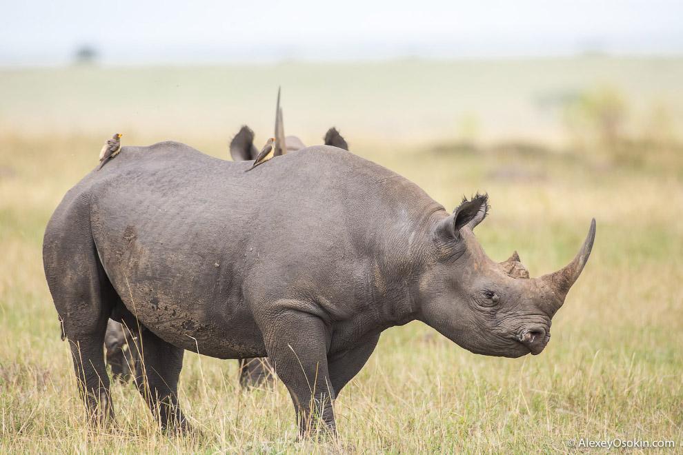 5. За месяцы проведенные в Африке это единственное животное, которое пыталось на меня напасть. Точне