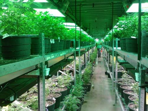 Британские парламентарии предложили разрешить марихуану вмедицинских целях