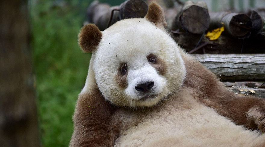 Amazing Pictures of the World's Only Brown Panda (6 pics)