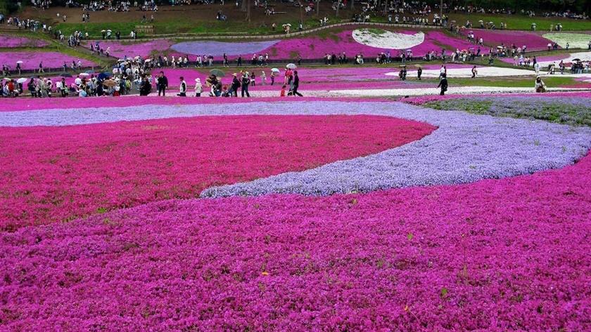 Цветущий розовым японский парк Хицудзияма. Фотографии 0 141ad9 f764807f orig