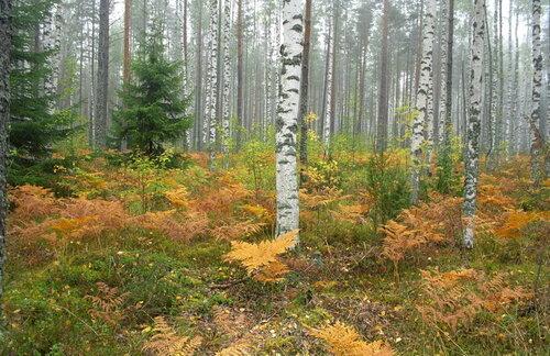 Осенний лес, Лен. Область