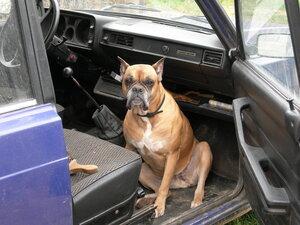 Жигули 4, собака боксёр - Басса Нуро, кабина, на боевом посту, Апарышев.