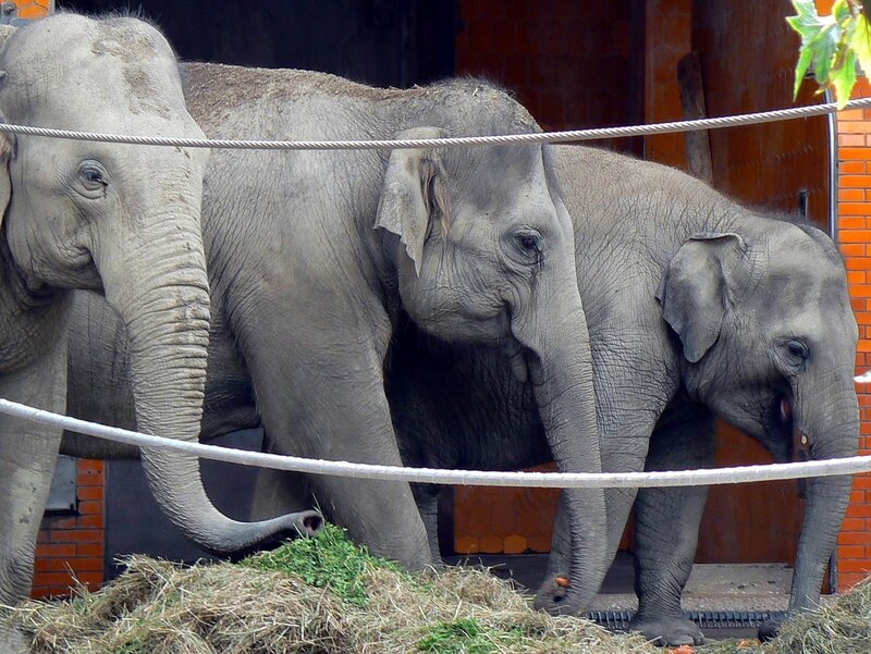 Munchen_zoo_04-07-2007_Elephas_maximus_Индийский_слон_67,60,01гр