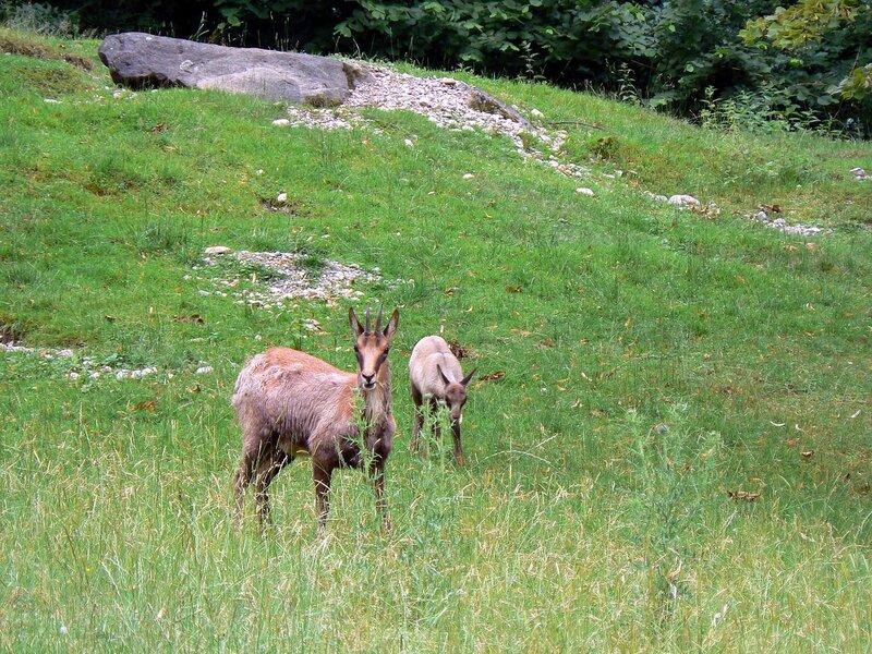 Munchen_zoo_04-07-2007_Rupicapra_rupicapra_Серна
