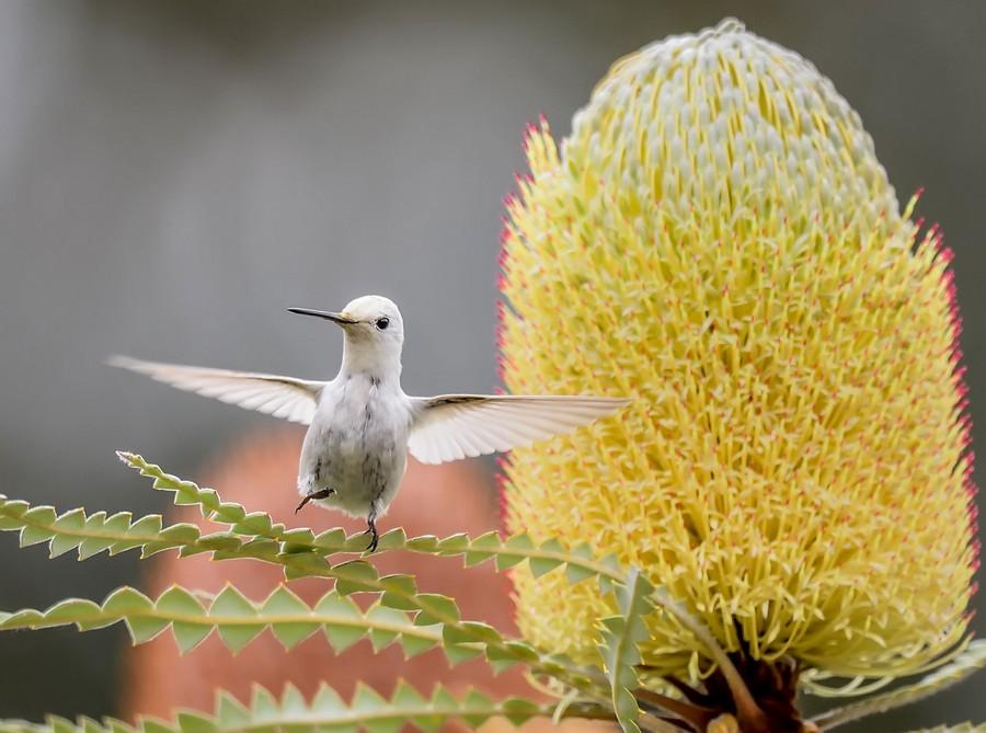 Leucistic_Annas_Hummingbird BradRLewis