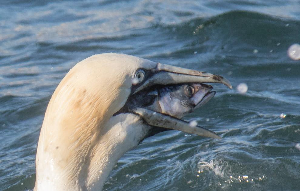 8. Безголовые пингвины. (Фото Charles Kinsey   Barcroft Images   Comedy Wildlife Photo Awards):