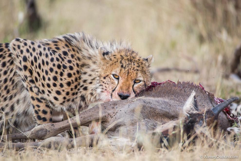 10. После гепарда остается много падали, которой не прочь полакомиться гиены или мелкие хищники