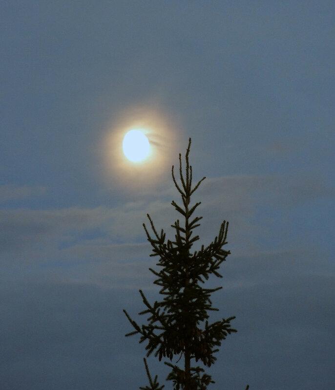 луна и ель.jpg