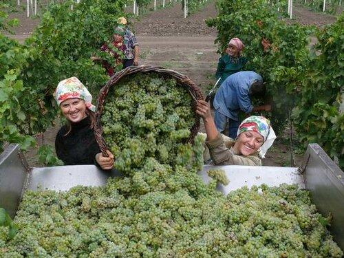 В Молдове начался сезон сбора винограда.