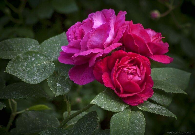Розы Татьяниного сада.