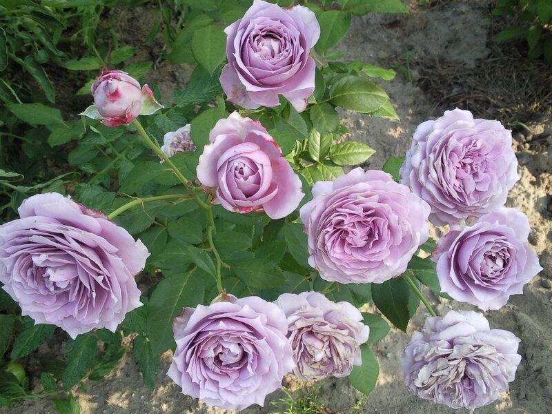 Первогодка Новалис. Розы, которые мне хочется!