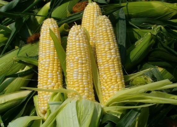 Ученые сказали, как ГМО-культуры влияют наэкологию