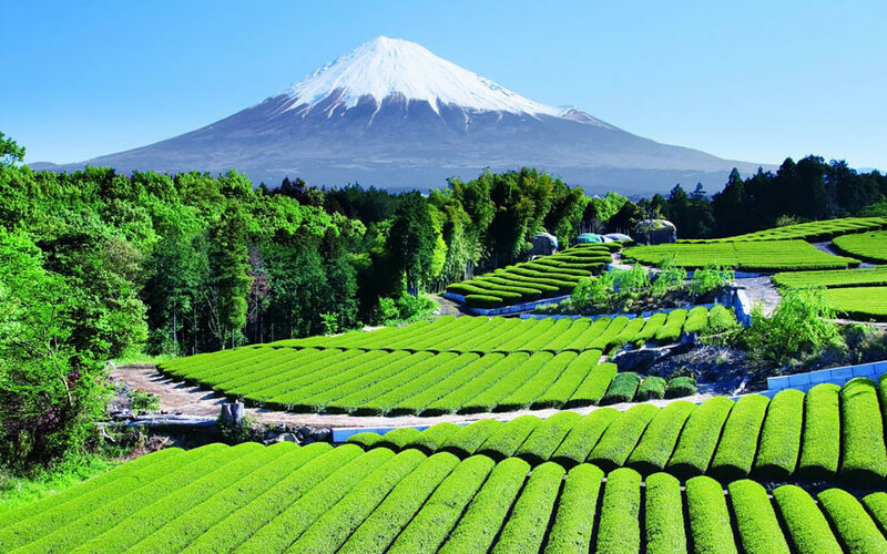 Чайный сад с видом на гору Фудзи