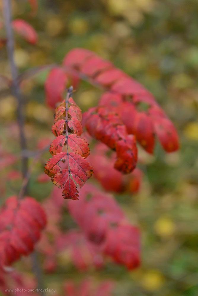 Фотография 14. Рябиновый лист в осеннем лесу. Поход выходного дня на мраморный карьер. 1/60, -1.0, 7.1, 6400, 70.