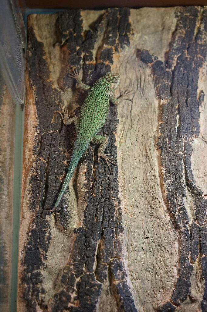 Ящерица. Террариум в Сафари-парке Геленджика