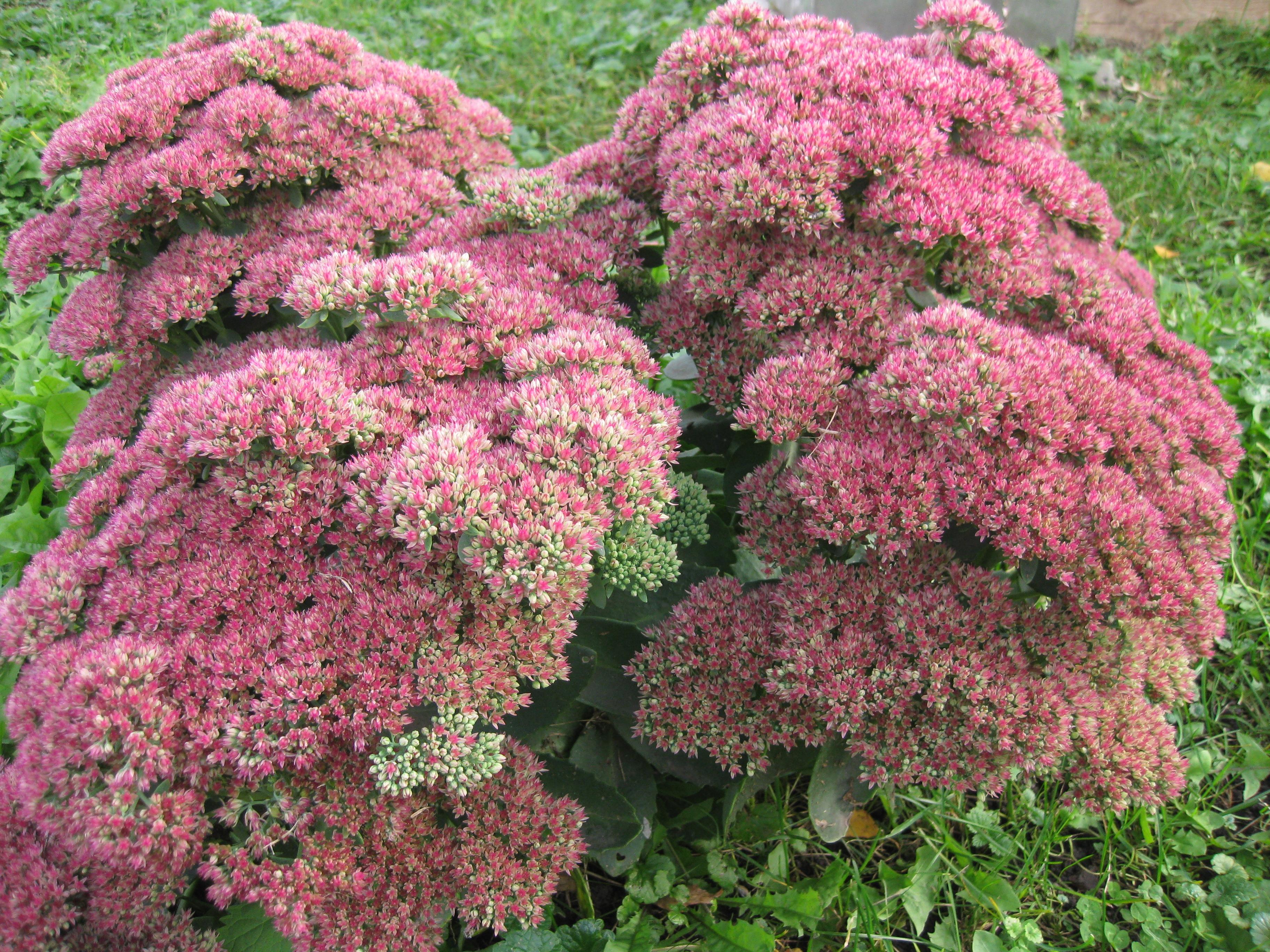 Цветы Очиток или Седум (официальное название источник Википедия)