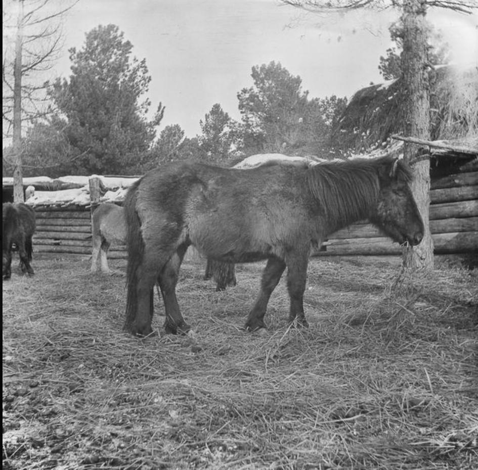 Лошадь нарымской породы в загоне во дворе дома купца Трофимова