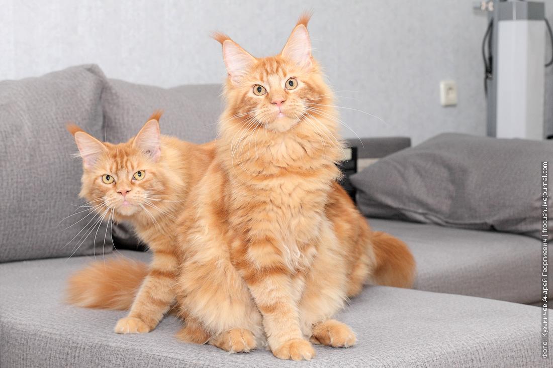 красные кот и кошка Мейн-кун