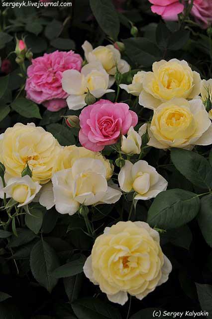 Rosa Vanessa Bell (5).JPG