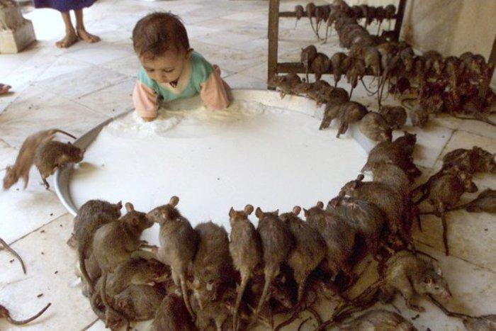 Праздник почитания крыс. Раджастхан Традиционно люди не любят крыс по той простой причине, что эти г