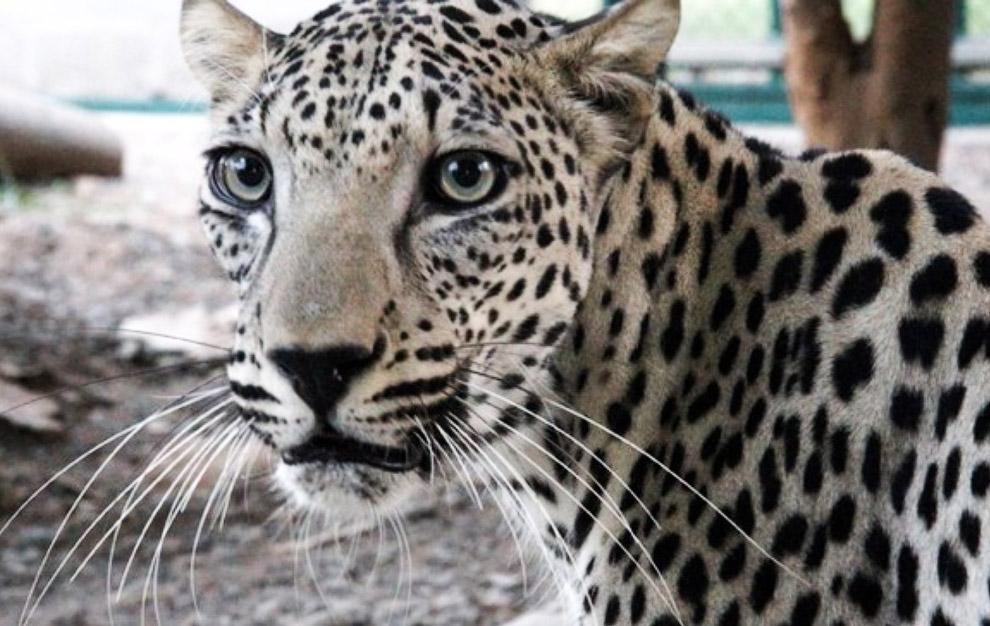 Является наиболее мелким подвидом леопарда. Масса самцов до 30 кг, самок — всего до 20 кг. Это