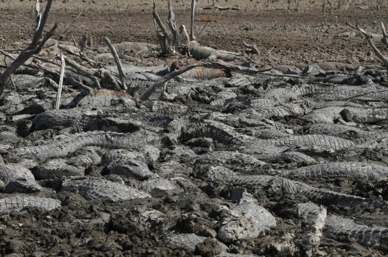 Кайманы, пытаясь спастись от жары, искали убежища в грязи. Они могут преодолеть большие расстояния в