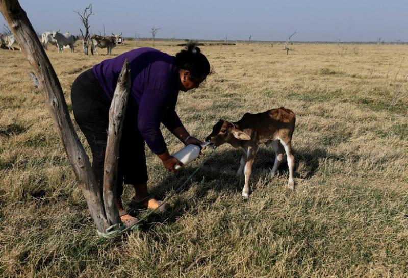От нехватки воды пострадало и животноводство. Сотни коров умерли в районе лагуны, где большинство фе
