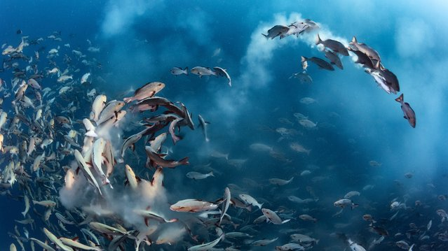 """Snapper party"". Tony Wu, US Winner, Underwater category. For several days each month, thousands of"