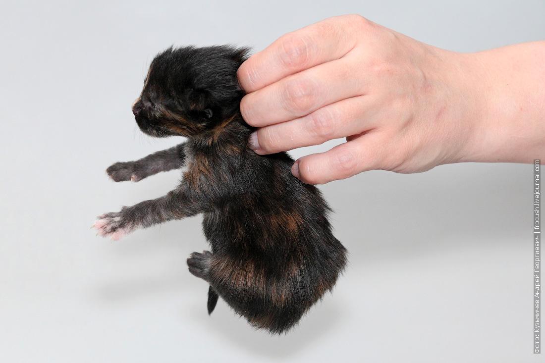 котенок мейнкун 1 неделя