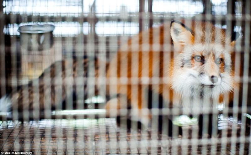 Животных часто умерщвляют при помощи смертельной инъекции, вызывающей удушье. На Западе она запрещен
