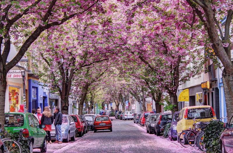 1. Южно-Африканская Республика. Йоханнесбург. Цветущие деревья жакаранды. (John) 2. Япония. Кавадзу,