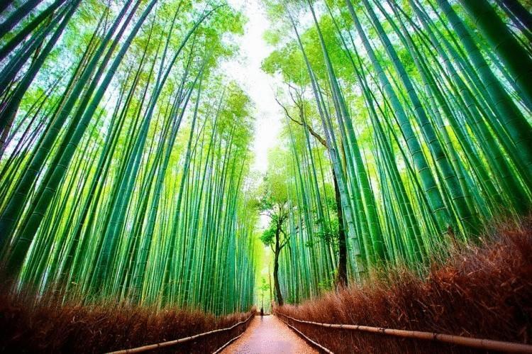 7. Япония. Киото. Бамбуковый лес Сагано. (Daniel Peckham)