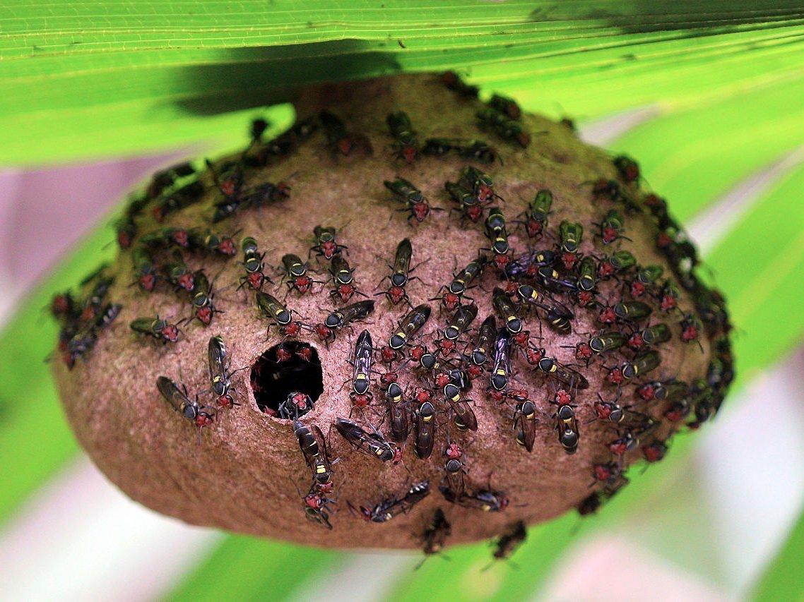Черная оса-полибия Научное название: Polybia simillima. Регион обитания: Центральная Америка. Описан