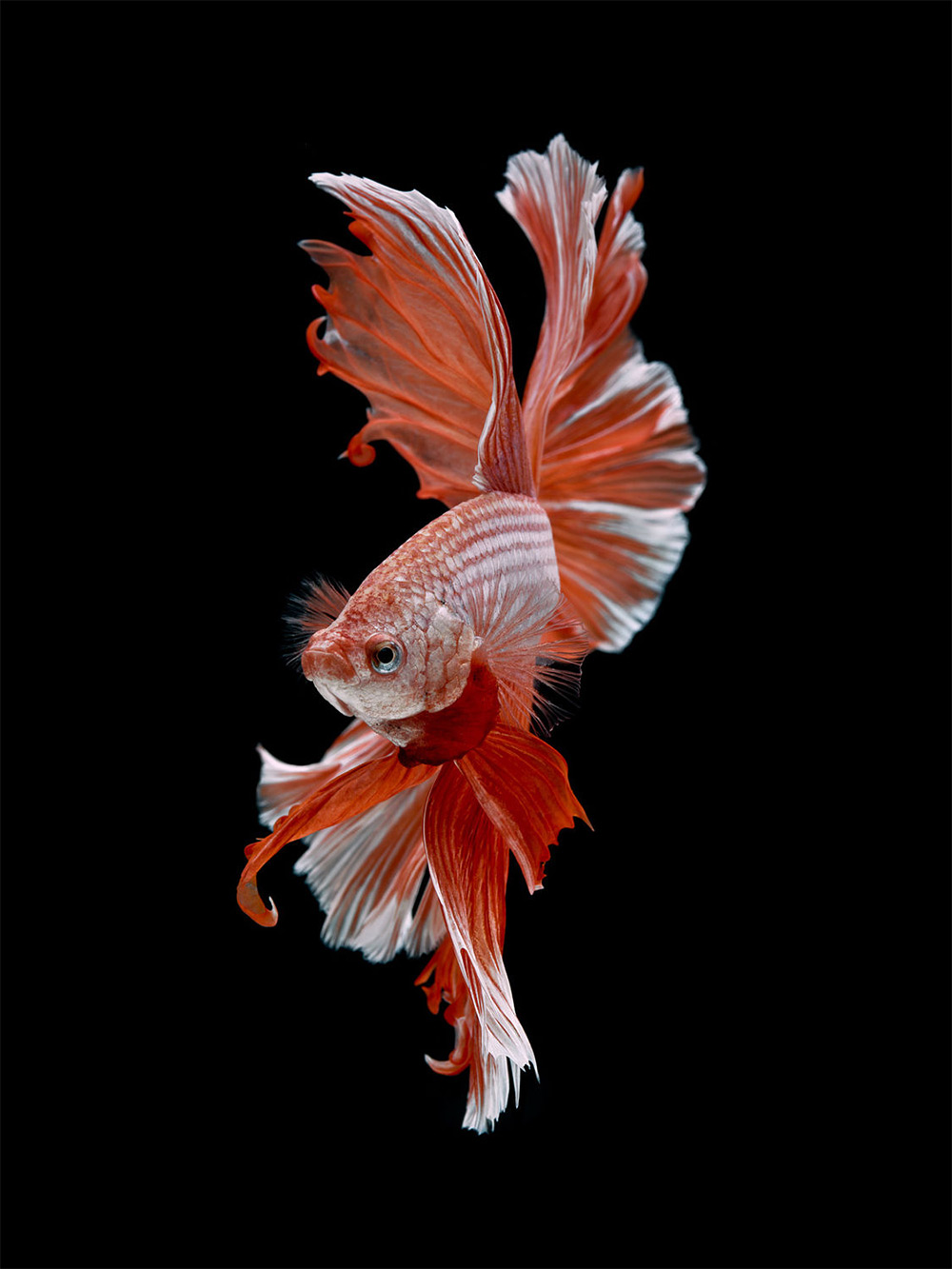 Dramatic Portraits of Pet Fish Swimming with Personality
