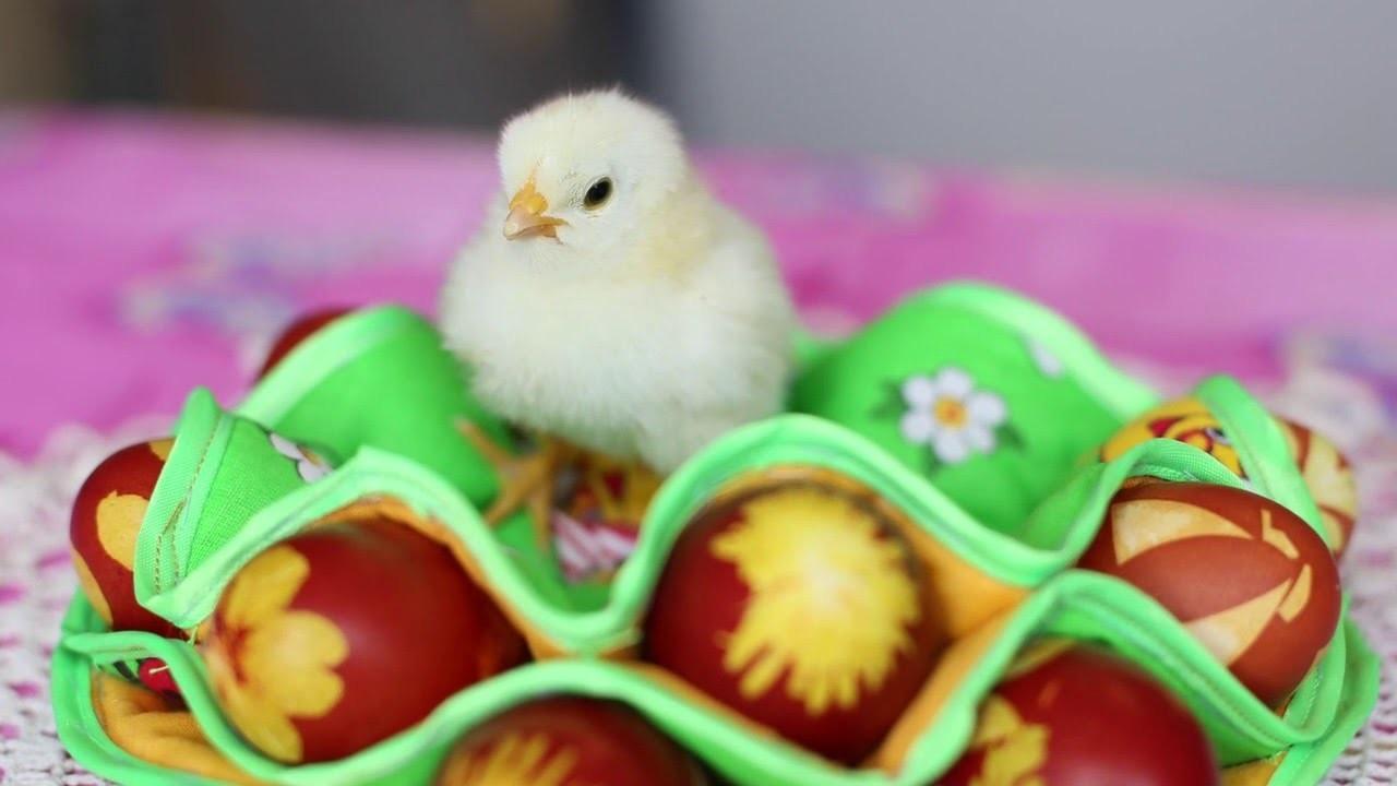 цыпленок сидит на крашеных пасхальных яйцах