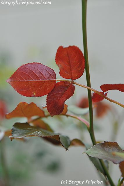 Rosa The Wedgwood Rose (5).JPG