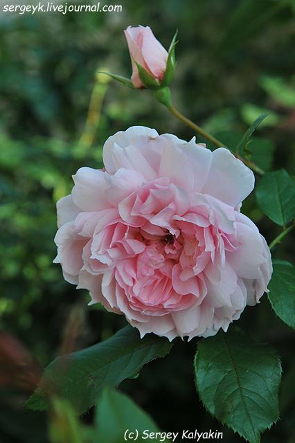 Rosa The Wedgwood Rose (8).JPG