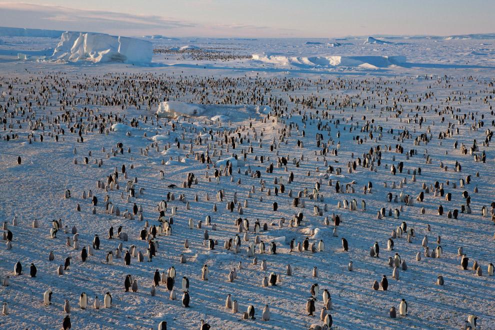 29. Пингвин выпрыгивает из воды на льдину.