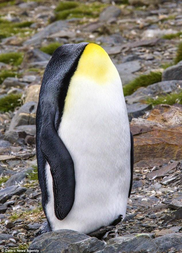 Как известно, пингвины не могут летать. А голова, видимо, все-таки смогла.