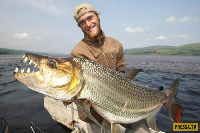 Большая тигровая рыба является самым крупным представителем тигровых рыб и может вырастать до 1,5 ме