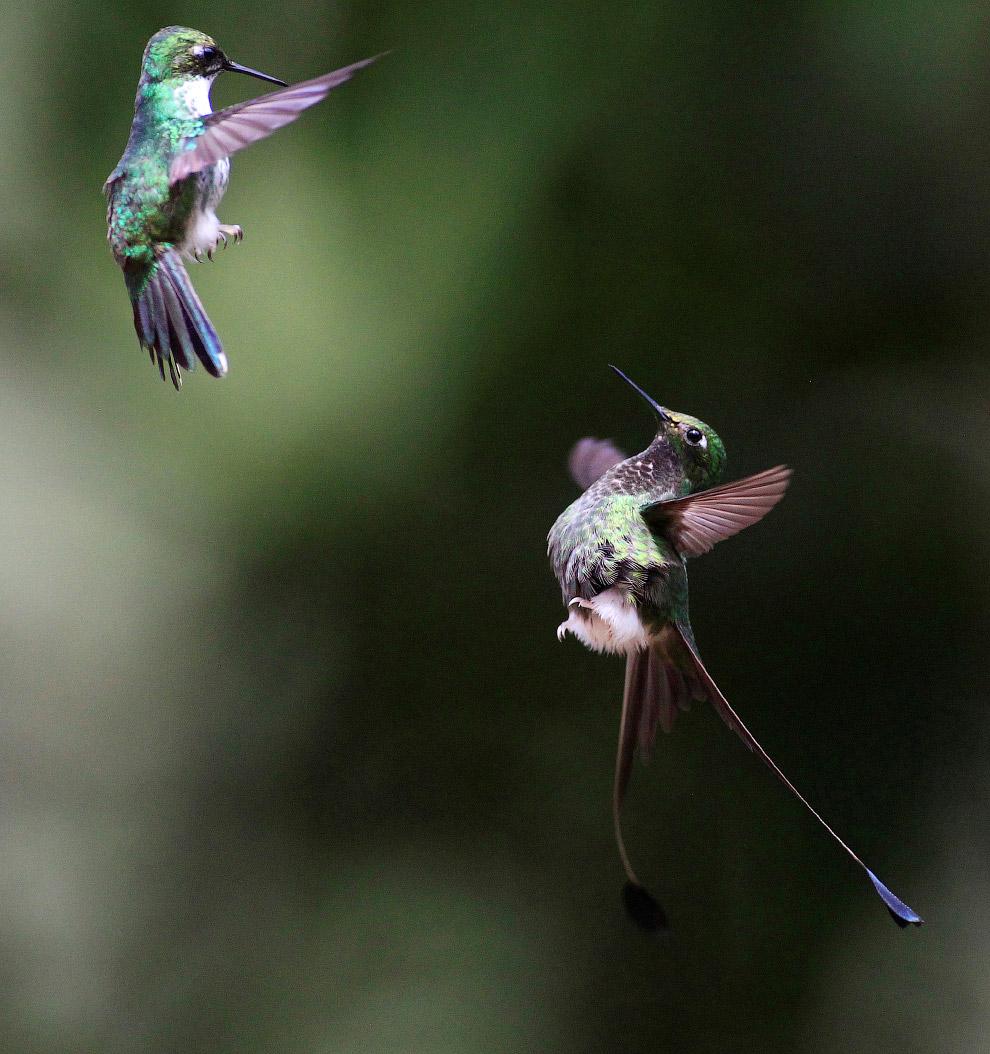 8. Метаболизм диктует свои правила: 3-граммовая колибри потребляет подчас 43 грамма сладкого не